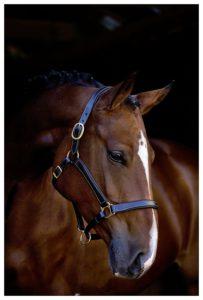 Pferde Lederhalfter